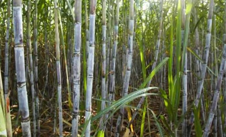 Largest Sugarcane Producing States in India