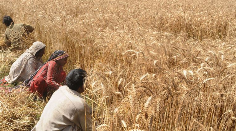 Largest Wheat Producing States in India
