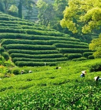 China Top 10 Tea Producing Countries in The World 2017