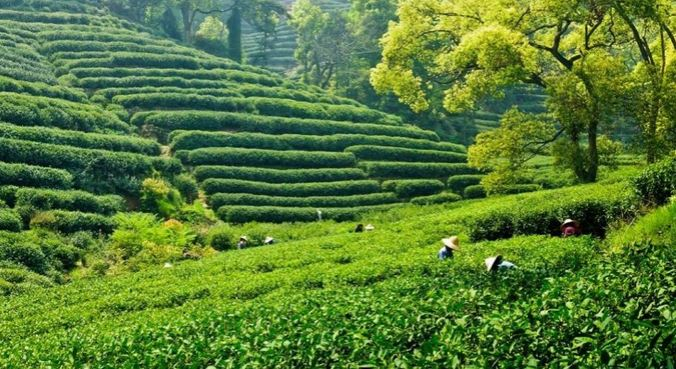 Largest Tea Producing Countries in The World