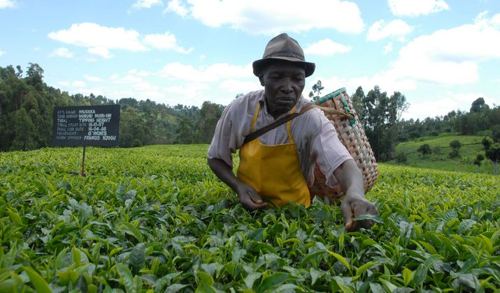 Largest Tea Producing Countries in The World 2019