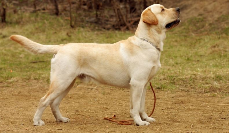 Top 10 Friendly Pet Dog Breeds In India 2019 Beautiful Dogs Trendrr