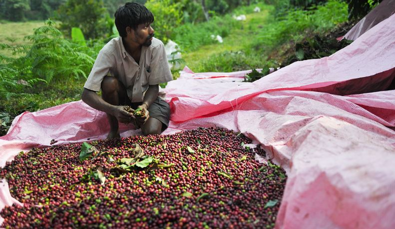 Largest Coffee Producing States in India 2019