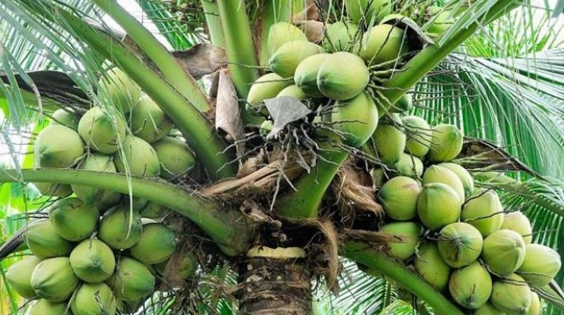 Top Coconut producing States in India