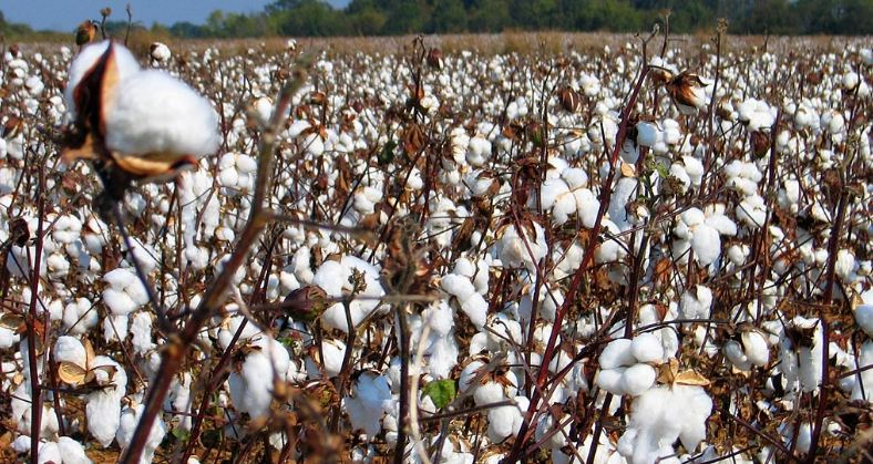 Top cotton producing states in India 2019