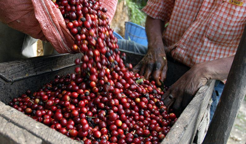 Largest Coffee Producing States in India