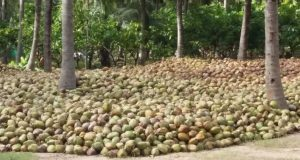 Tamil Nadu Top 10 Largest Coconut Producing States in India 2017