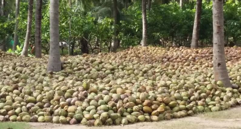 Largest Coconut Producing State in India 2019