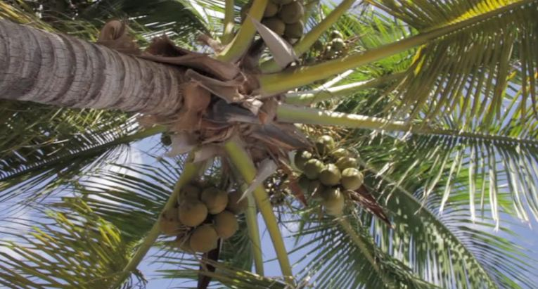Top 10 Largest Coconut Producing States in India 2019 | Trendrr
