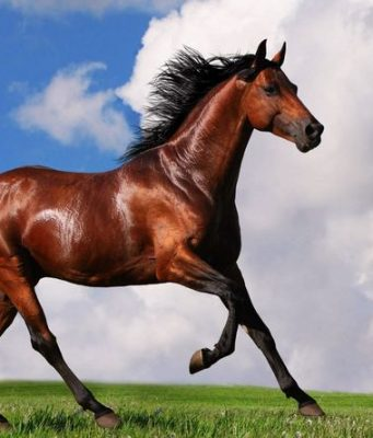 Arabian Horse Top 10 Most Expensive Horse Breeds 2017